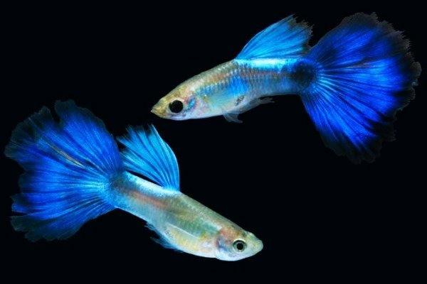 Gambar Ikan Guppy Blue