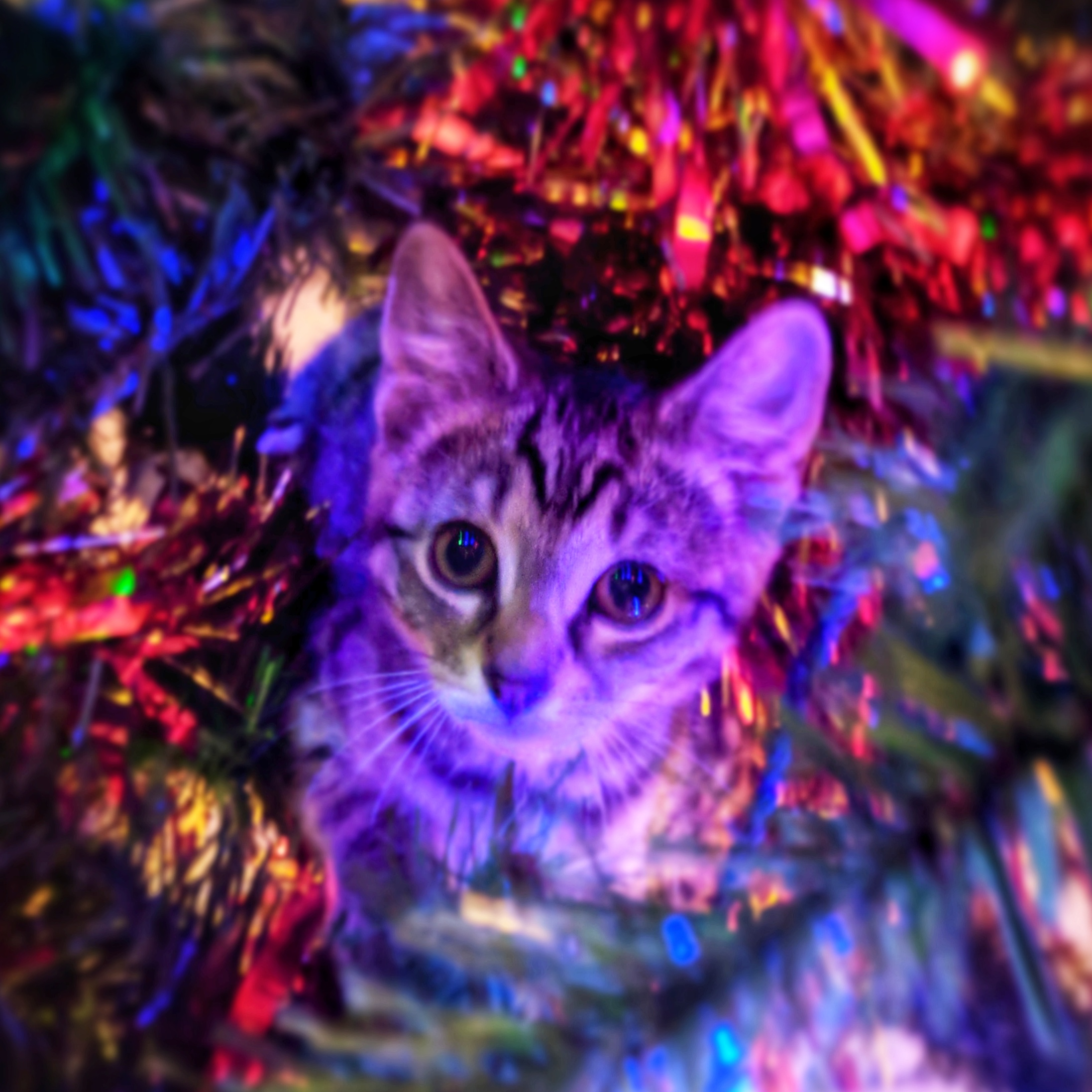 Kitten up in a decorated Christmas Tree