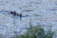 Harlequin Ducks in the Shade, Rosario Bay
