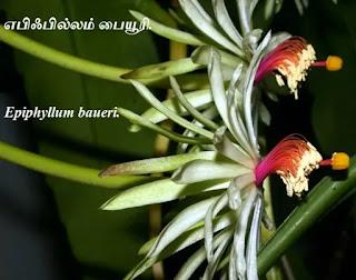 Epiphyllum baueri two flower