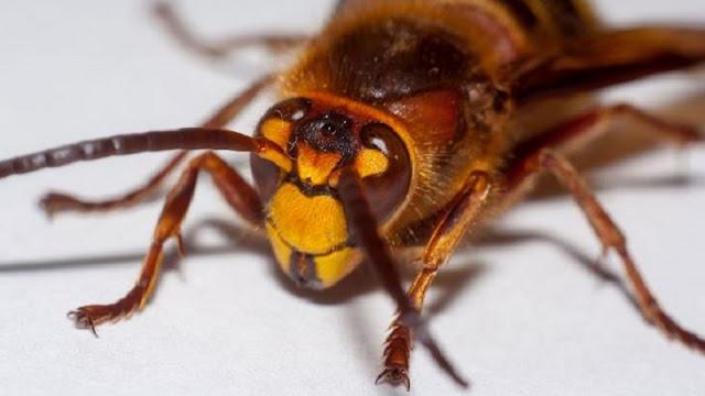 اضرار حشرة البق
