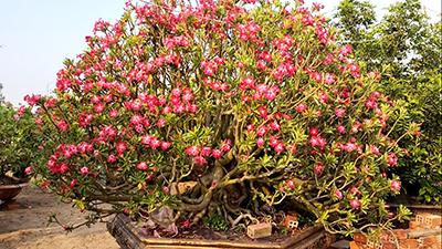 """Các cây sứ """"khủng"""" trong vườn anh Lâm"""