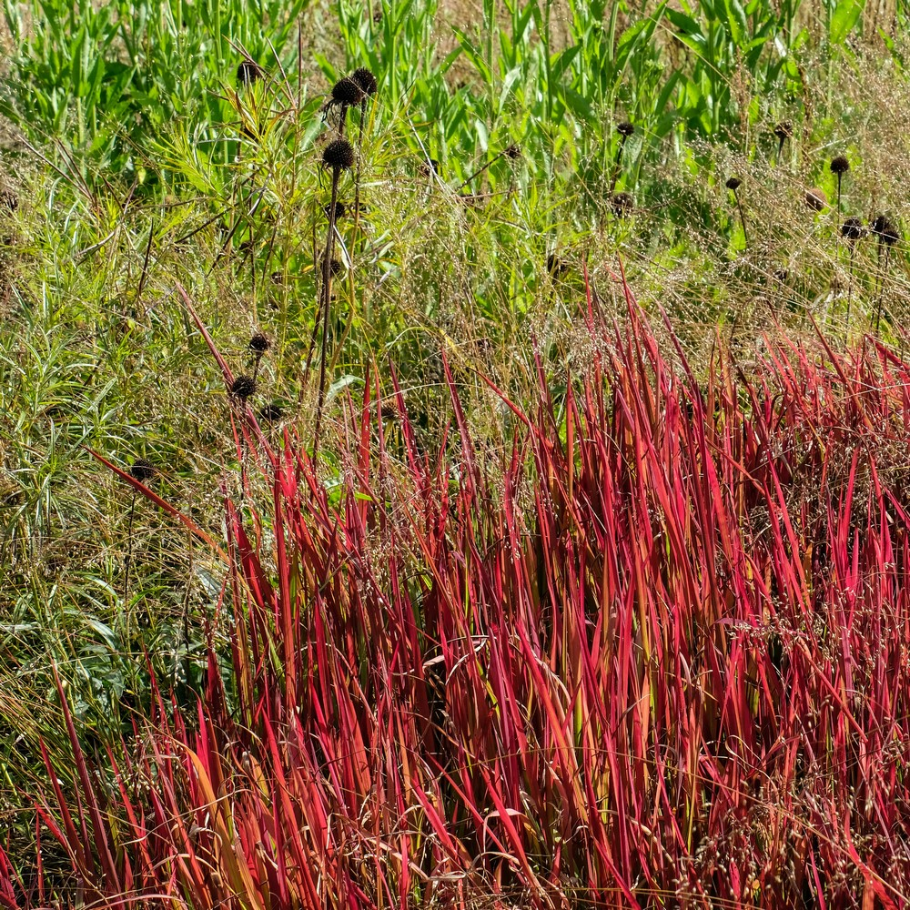 gramínea ornamental con follaje de color rojo-sangre