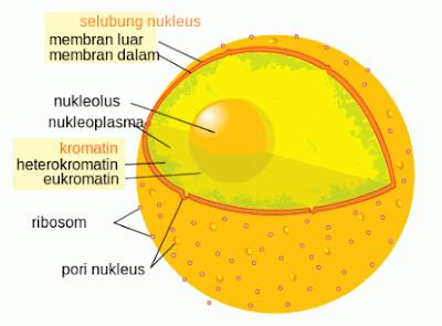 Nukleus (Inti Sel): Fungsi, Struktur dan Gambar Lengkap