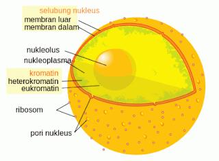 Inti Sel (Nukleus)