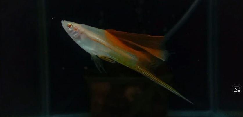 Hi-Fin Pineapple swordtail fish jantan