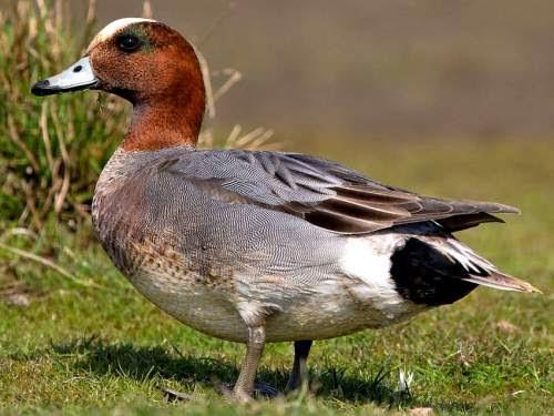 Indian birds - Eurasian wigeon - Mareca penelope