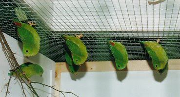 blue crown hanging parrot upside down