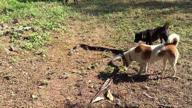 Четыре собаки защищали свою хозяйку от 2,5-метровой кобры!