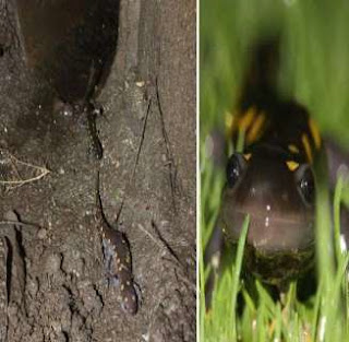 Tunnel Salamander di Negara Inggris