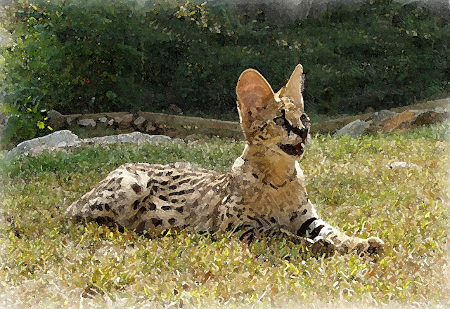 Animal Planet, The elegant savannah cats