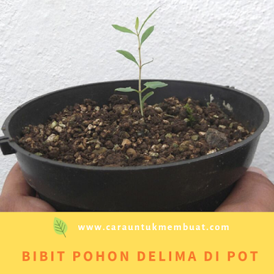 Bibit Pohon Delima Di Pot