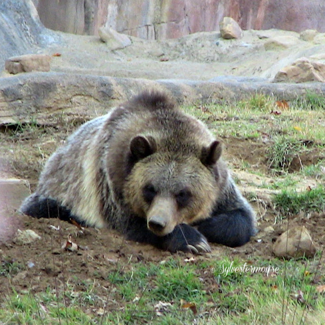 The Memphis Zoo Review - Grizzly Bear Photo by Cynthia Sylvestermouse