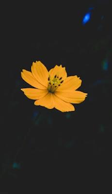 وردة صفراء اللون على خلفية سوداء