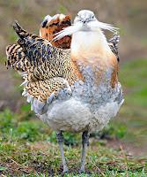 Beyaz bıyığı ya da sakalı olan toy kuşu