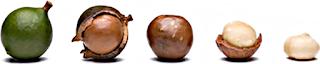 frutos de macadamia madurando