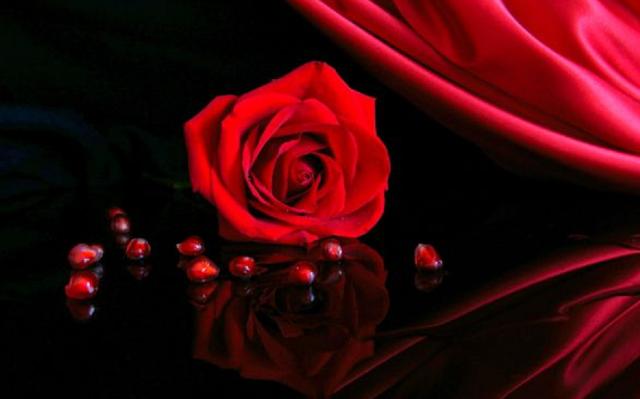 bunga mawar merah merekah indah