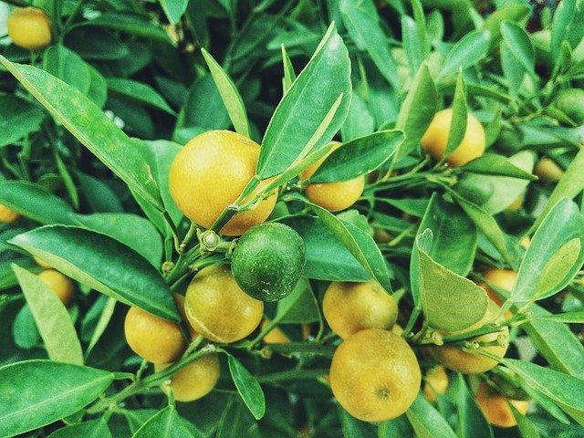 Combien pèse le plus gros citron du monde ?