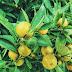 Le plus gros citron du monde
