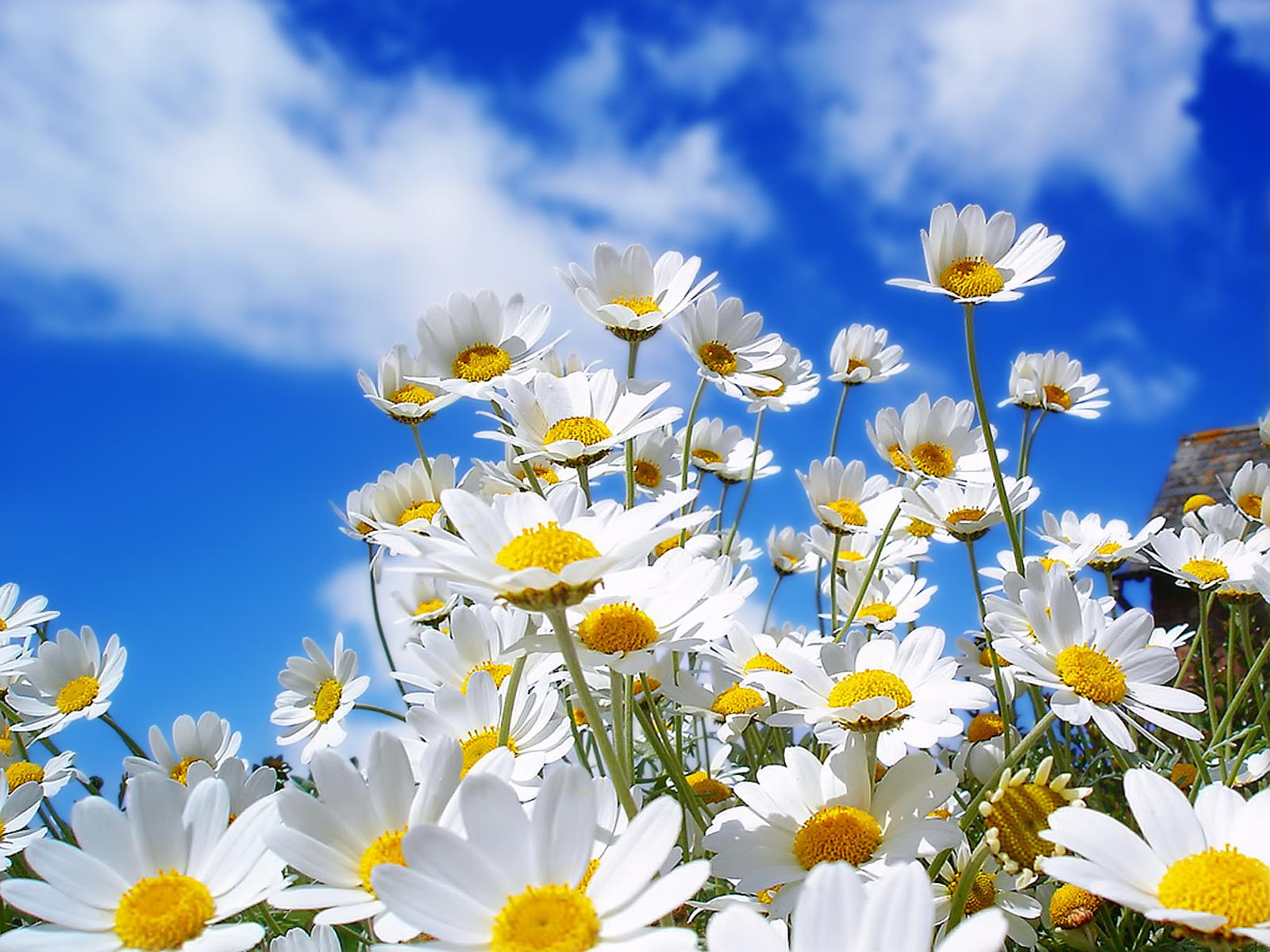 Beautiful Nature Pictures: Spring Daisy Wallpaper