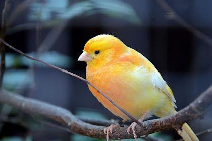 14 Fakta Burung Kenari yang Menakjubkan