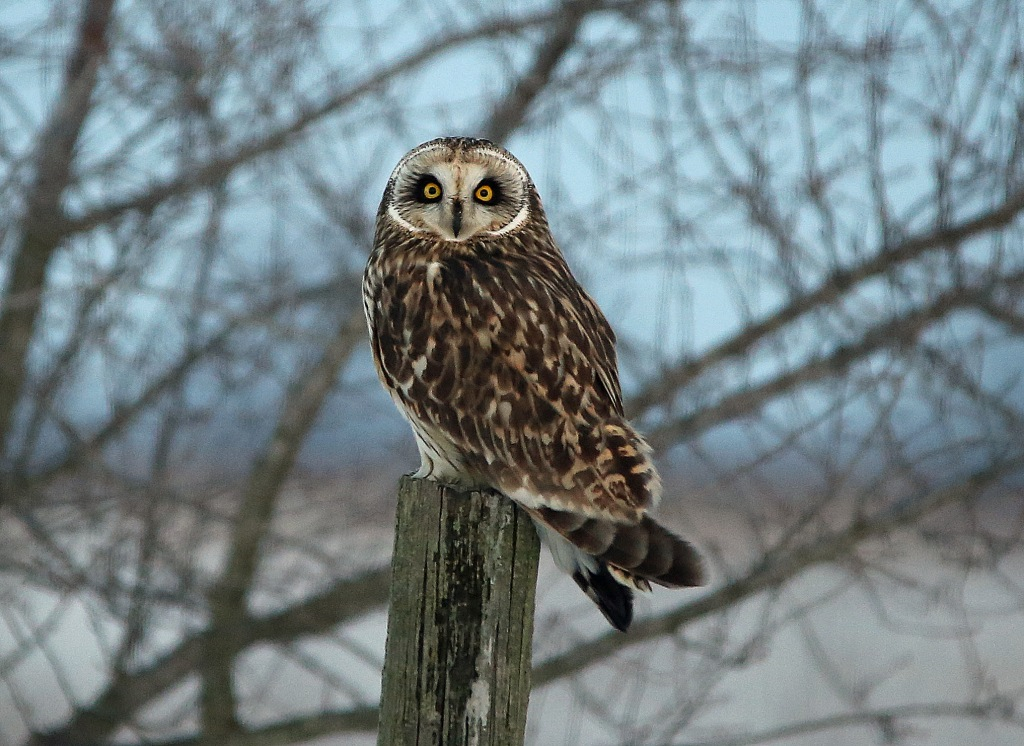Ohio Birds and Biodiversity: More Short-eared Owls ...
