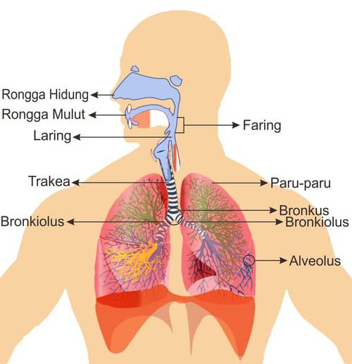 Gambar Bagian-bagian hidung dan saluran pernapasan atas