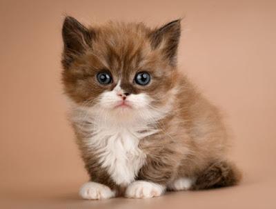 Perawatan Ras Kucing Munchkin