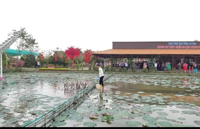 Hình ảnh cá lóc bay cánh đồng hoa hồng sa đéc
