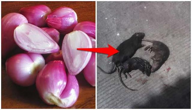 Tikus Berkeliaran di Rumah? Gunakan 5 Cara Alami Ini Untuk Mengusirnya