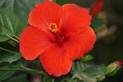 Daun Bunga Sepatu Merah Obat Tradisional Perangi Virus Berbahaya Penyebab Pilek Dan Flu