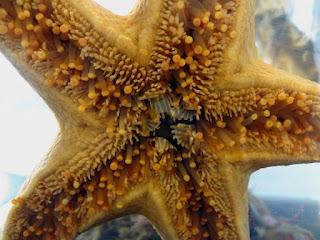 Kaki ambulakral pada bintang laut