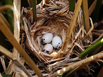 """alt=""""nido de varillero alas amarillas,aves de Mendoza,Agelasticus thilius"""""""