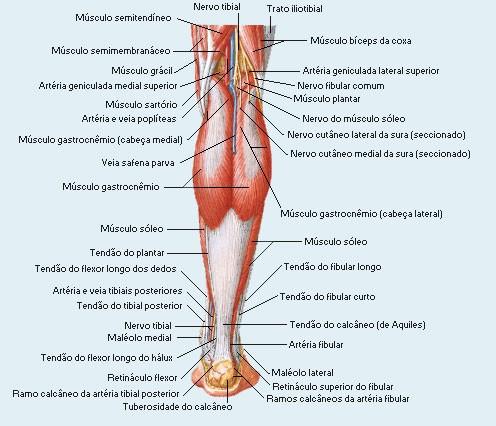 anatomia do músculo lateral da panturrilha