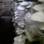 jamur tiram penangkal virus corona