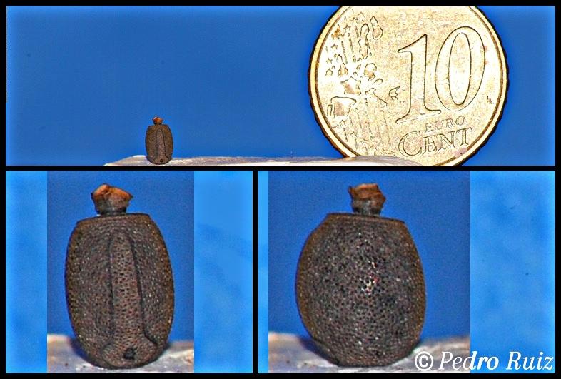 Huevo de Acrophylla  wuelfingi