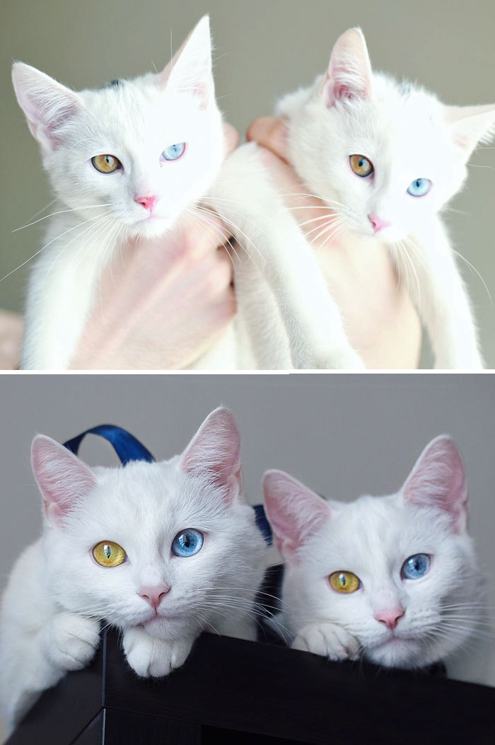 #4 The Most Beautiful Twin Cats Growing Up - 15 Before & After Pics Of Animals Growing Up Together