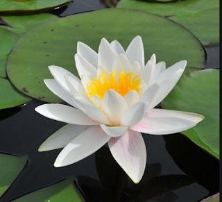 bunga teratai