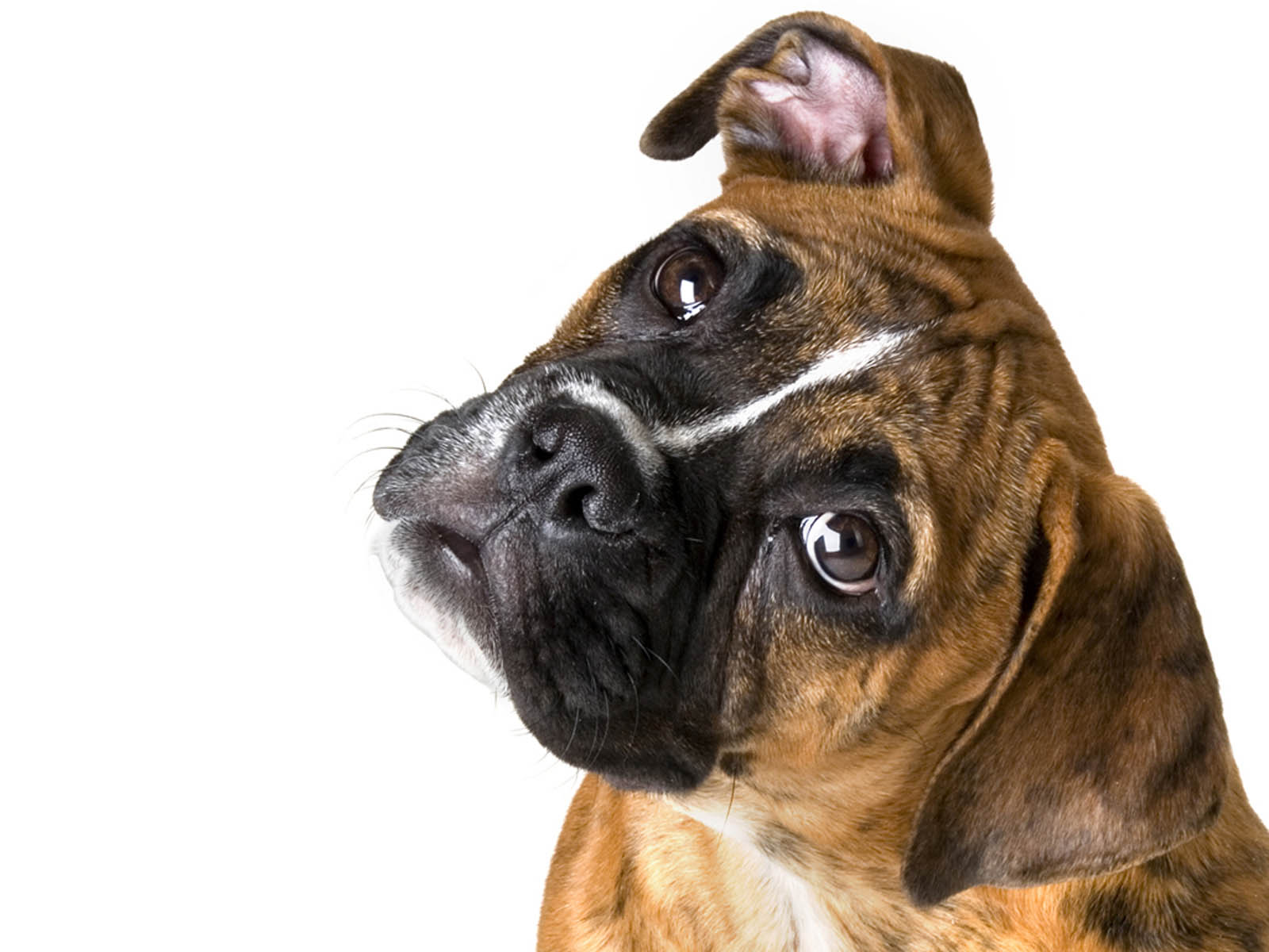 Tag: Boxer Dog Wallpapers, Images, Photos, Pictures and Backgrounds ...