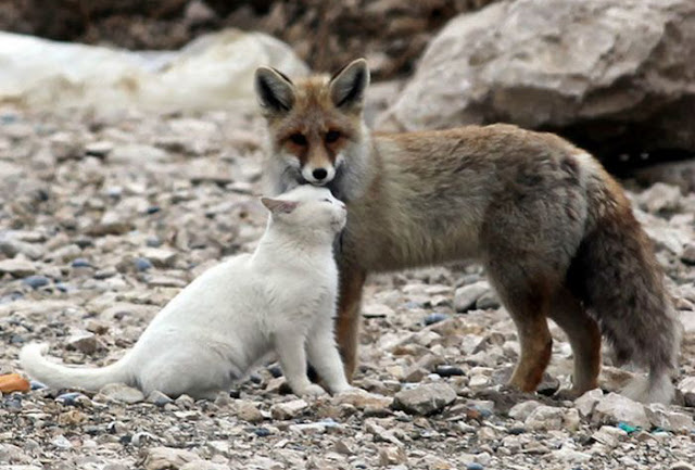 fox and a cat