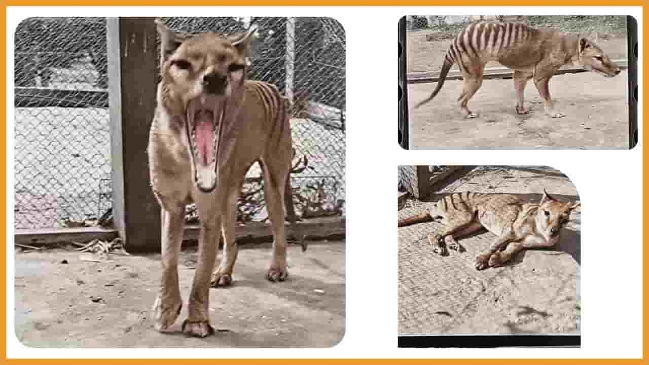 what is thylacine tiger in hindi