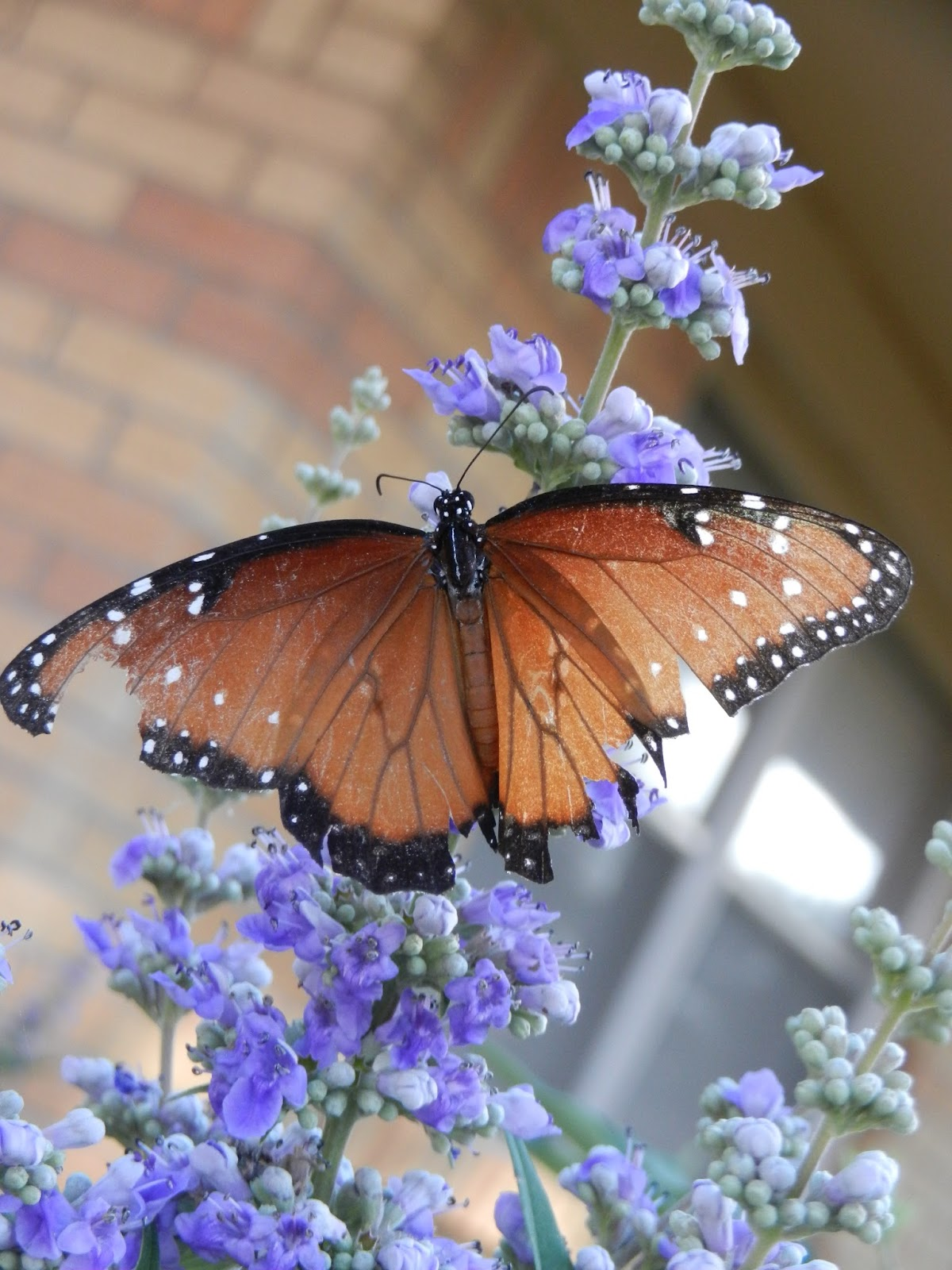 monarch butterfly lilac pic