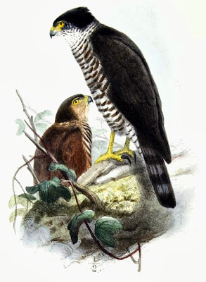 gavilan acollarado Accipiter collaris