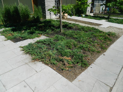 Toronto King West Village front garden clean up after by Paul Jung Gardening Services