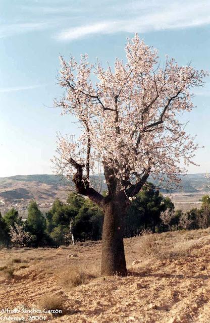 almendro-flor-ademuz-valencia