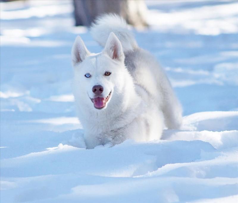 Siberian husky 5