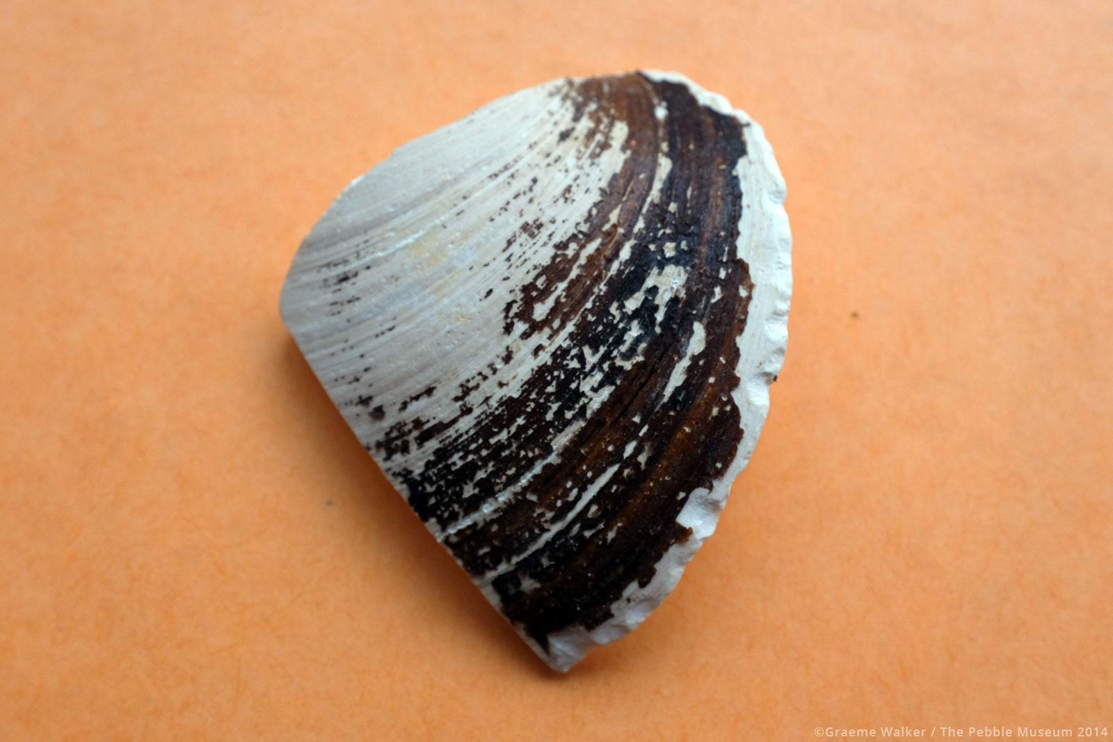 Shell Fragment © Graeme Walker / The Pebble Museum 2019