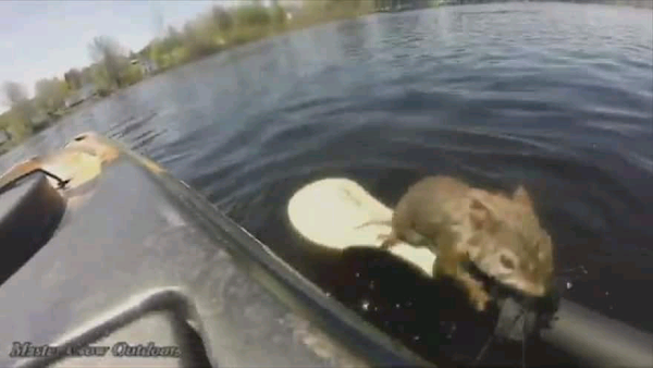 Kayaker rescues red squirrel under attack from spawning bass in river