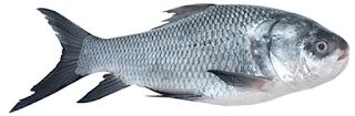 Catla Fish in Tamil