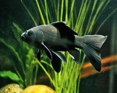 Ikan Komet Hitam